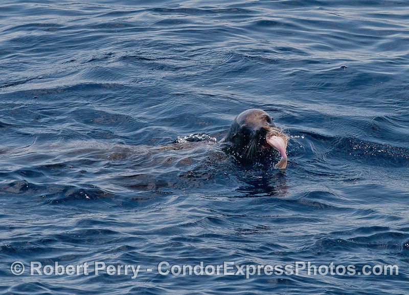 Image 1 of 4 in a row:  a large female California sea lion is seen feeding on a flatfish