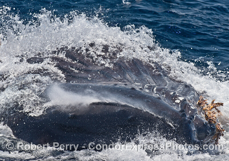 Image 2 of 3 in a row:  a surface lunging humpback whale feeds very close to our boat.  Here the whale has rolled over further to its right side as it expels water from its mouth and gular pouch (trapping hundreds of anchovies inside the baleen)