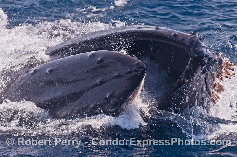 Image 1 of 3 in a row:  a surface lunging humpback whale feeds very close to our boat.  The whale is on its right side and the baleen can be seen glowing in the sunlight as the mouth is open.  Stalked barnacles are attached to the chin.
