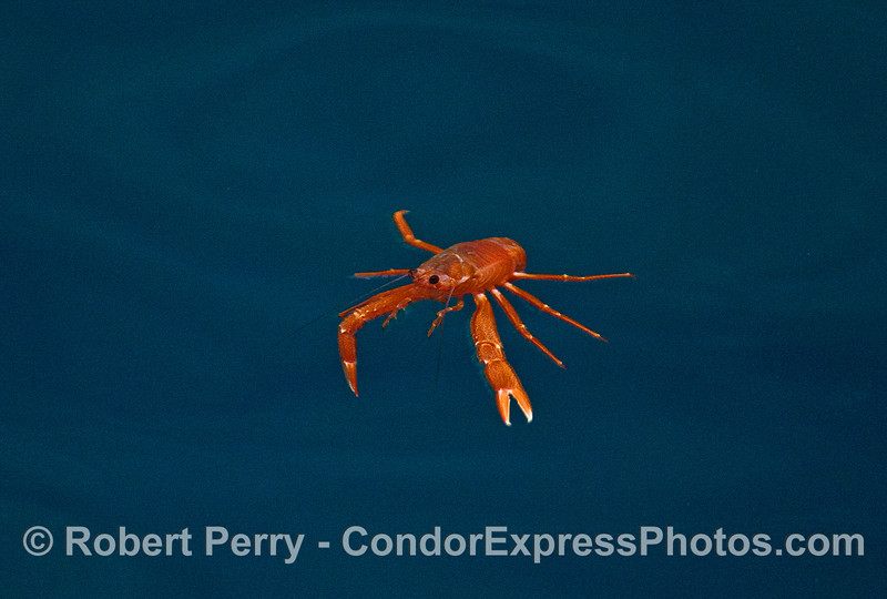 Image 1 of 4:  a pelagic red crab in the clear, blue waters of the Painted Cave, Santa Cruz Island.