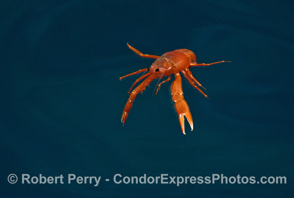 Image 3 of 4:  a pelagic red crab in the clear, blue waters of the Painted Cave, Santa Cruz Island.