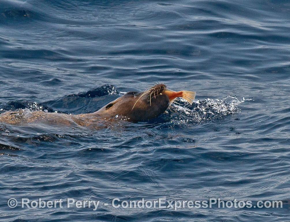 Image 1 of 4 in a row:  a large female California sea lion is seen feeding on a flatfish