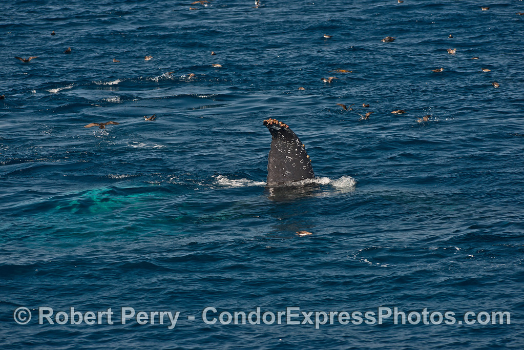 Only the tip of its tail is visible above the surface as this sideways feeding humpback gobbles anchovies.