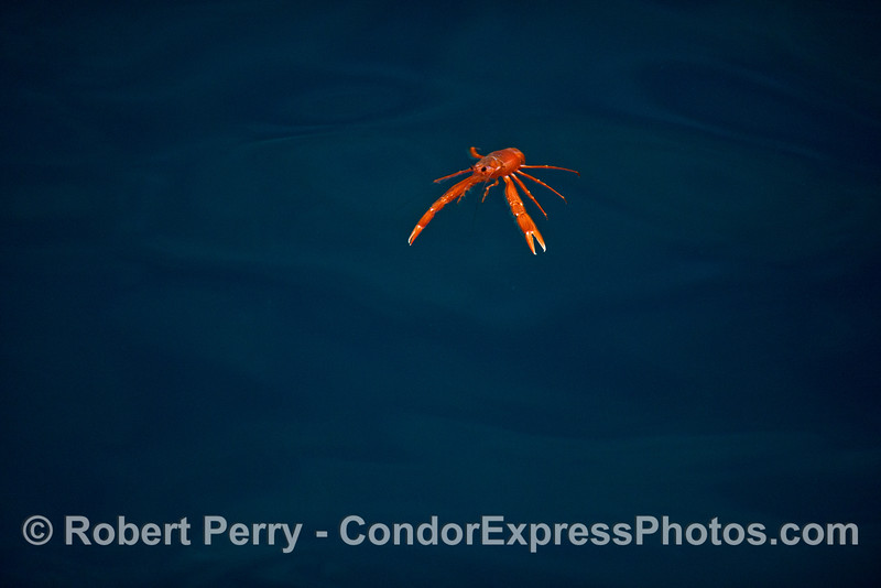 Image 4 of 4:  a pelagic red crab in the clear, blue waters of the Painted Cave, Santa Cruz Island.