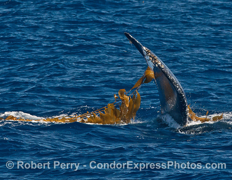 """Image 1 of 2:  A humpback whale is shown """"kelping""""  (rubbing its body in a detached, floating giant kelp paddy)"""