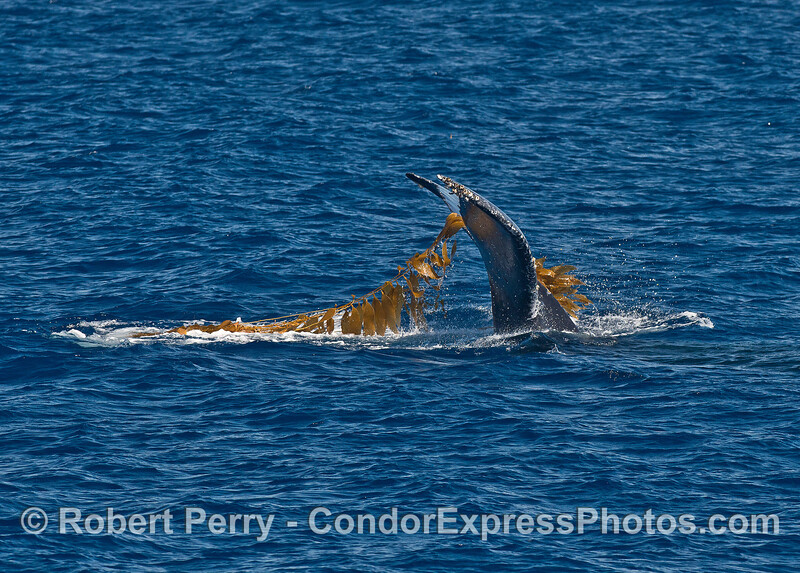 """Image 2 of 2:  A humpback whale is shown """"kelping""""  (rubbing its body in a detached, floating giant kelp paddy)"""