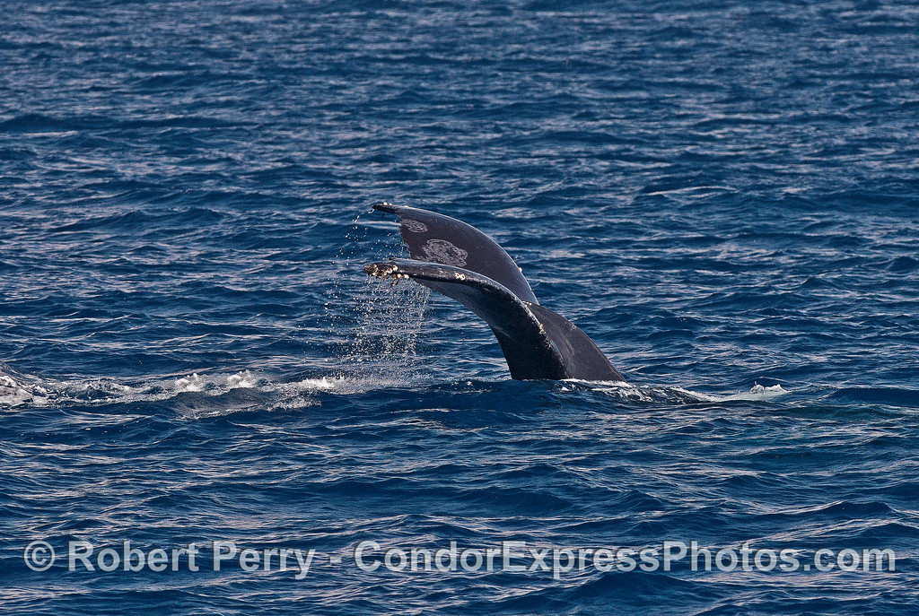 Going down!  A humpback heads for deeper waters.