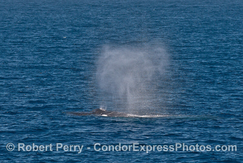 A light breeze send the spout spray of this humpback whale flying.