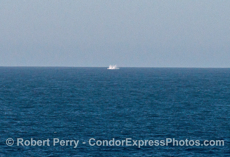 Image 3 of 3:   a Minke whale breaches about 2 miles away;  enlarged.