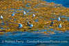 Image 2 of 2 - a floating giant kelp paddy is a great resting spot for western gulls.