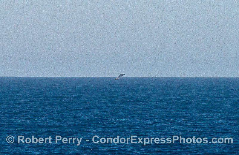 Image 1 of 3:   a Minke whale breaches about 2 miles away;  enlarged.