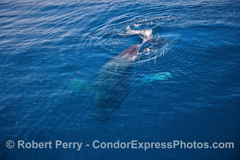 """""""Top Notch"""" the humpback whale diving in clear blue water."""