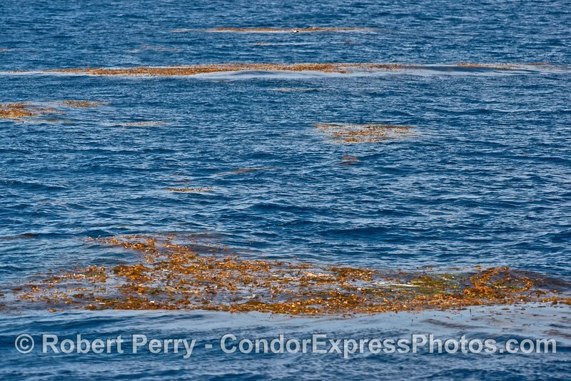 Many free-floating, detached giant kelp (Macrocystis) paddies on the open ocean.