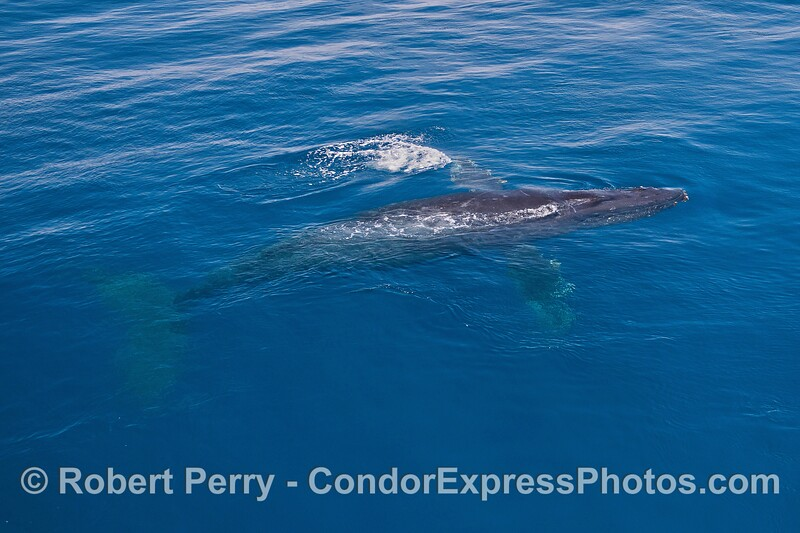 Whole body view - a humpback whale in clear water.