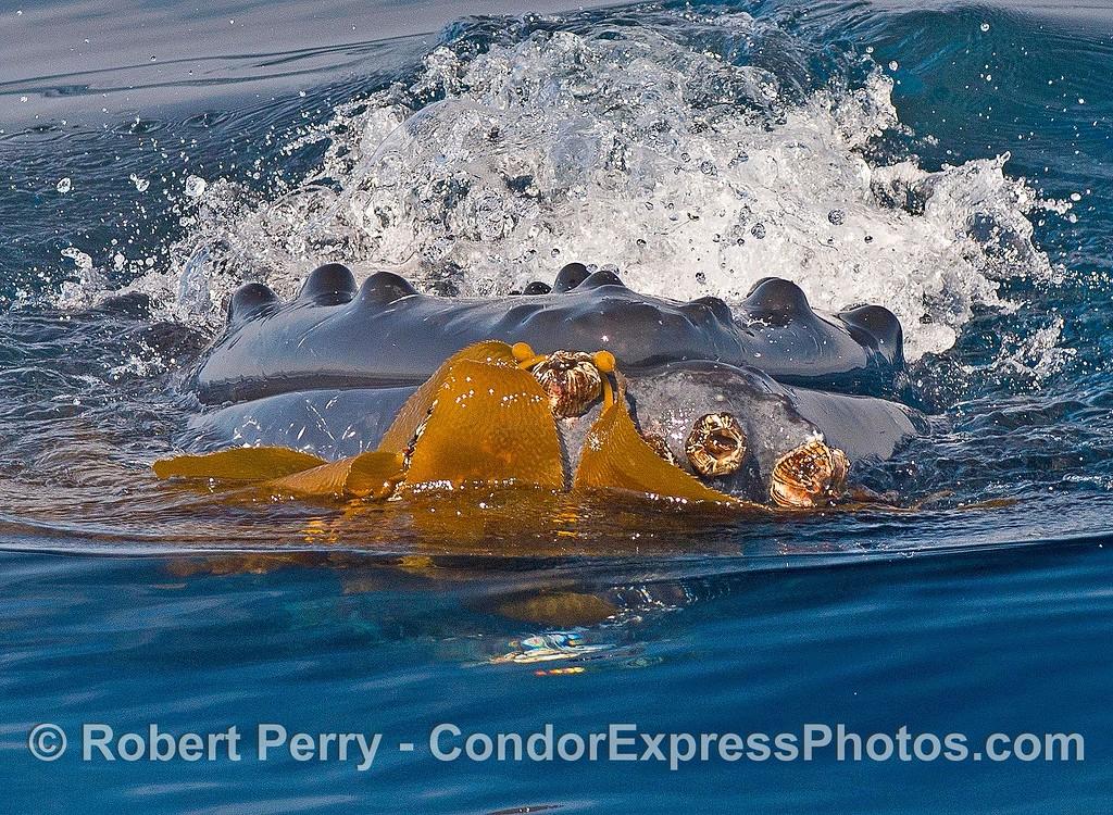 Humpback whale kelping.