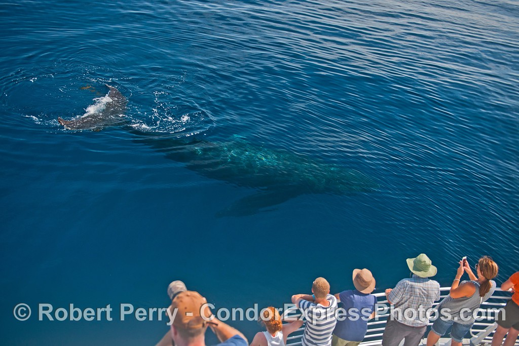 """""""Top Notch"""" the humpback whale makes a shallow dive in clear water a few feet from its fan club."""
