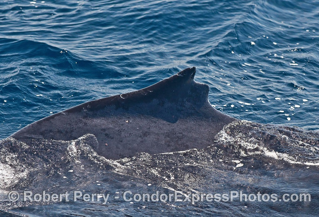 The dorsal fin notch that resulted in the nickname Top Notch.