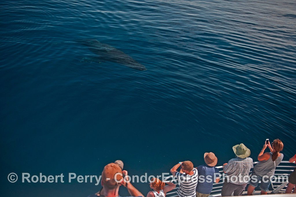 """""""Top Notch"""" the humpback whale approaches the boat and its fans."""