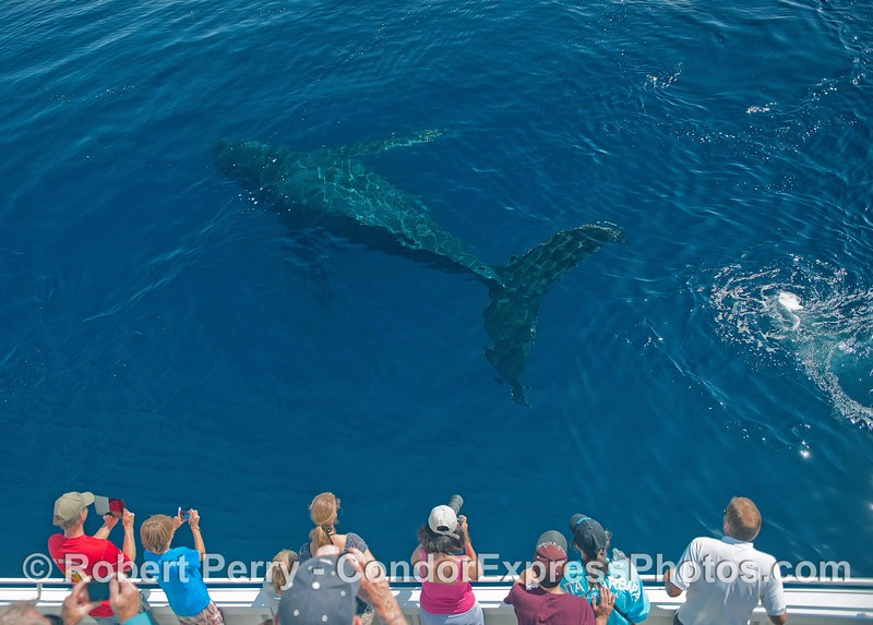"""Top Notch"" the humpback whale swims alongside the boat in crystal clear Santa Barbara cobalt water."