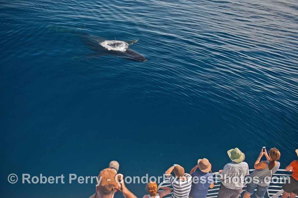 """A single bubble blast forms a ring of foam as """"Top Notch"""" the humpback whale  makes a friendly approach."""
