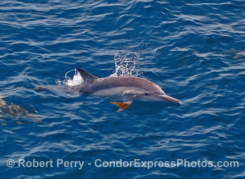 A long-beaked common dolphin with a piece of kelp on its pectoral fin.
