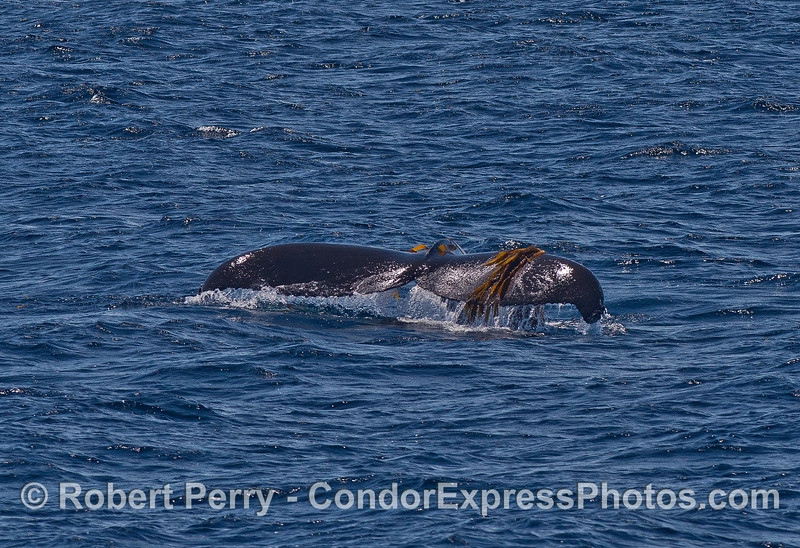 Image 1 of 2:  humpback whale tail flukes with giant kelp.