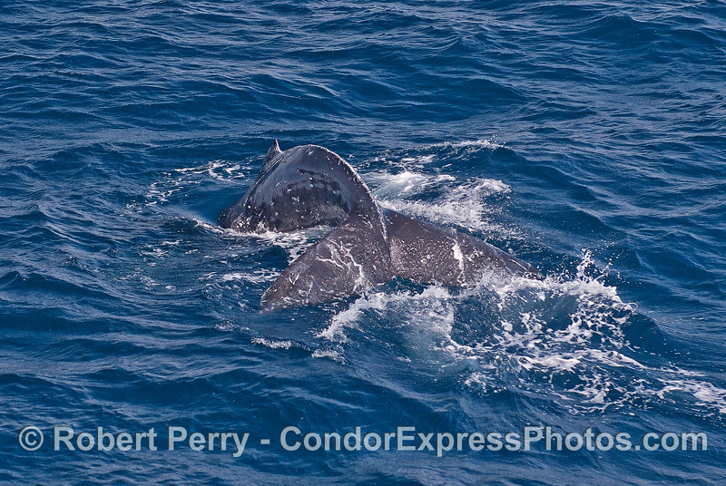 Image 1 of 2:   looking down on a humpback whale diving close to the boat.