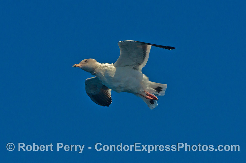 A gull is photographed in flight as it shakes its feathers from head to tail like a dog shakes its fur.