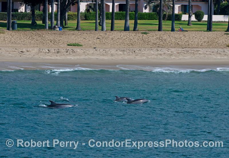 Inshore bottlenose dolphins