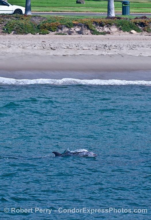 Inshore bottlenose dolphin