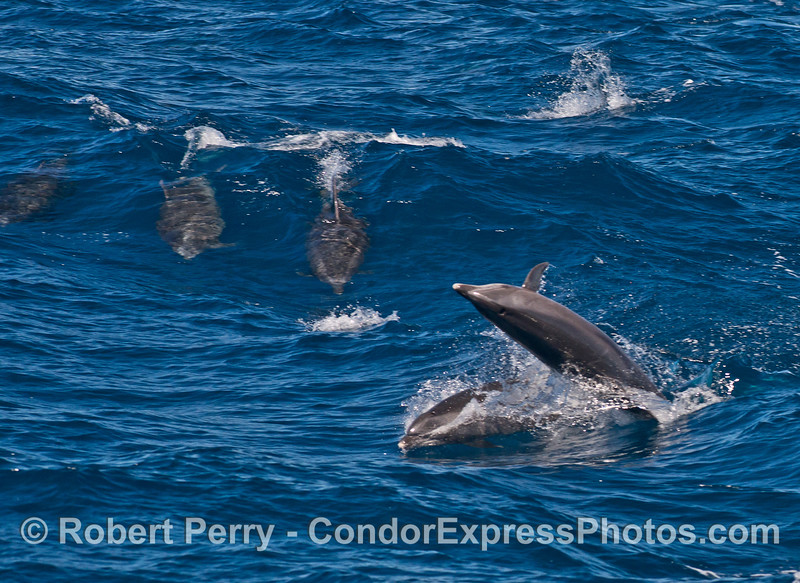 Offshore bottlenose dolphins