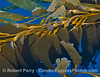 A close look at the fronds and stipes of a giant kelp canopy drifting detached on the open ocean.