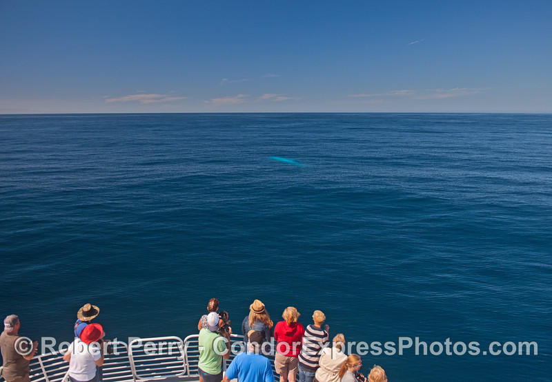 Here the whale fans see a fin whale looking very blue under the cobalt water