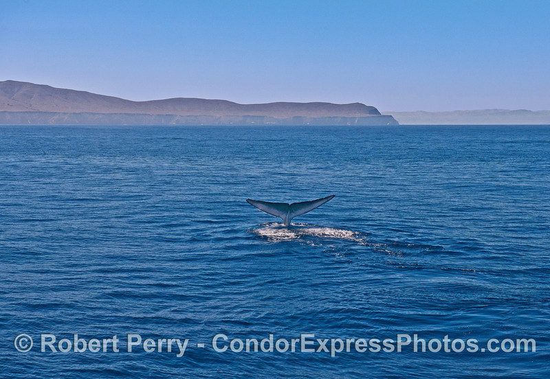 The west end of Santa Cruz Island and Santa Rosa Island's eastern end form a background for a tail-fluking blue whale