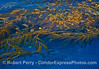 Image 1 of 3:  A detached and drifting giant kelp paddy with thousands of sardines hiding below