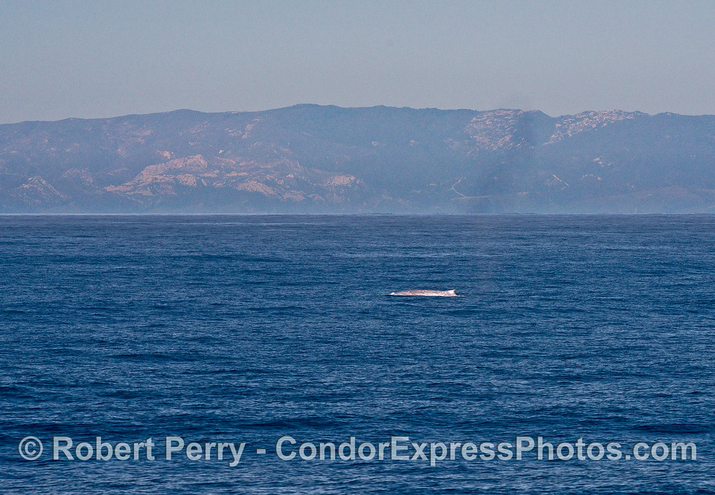 A blue whale on the surface with the mainland coast in the background.