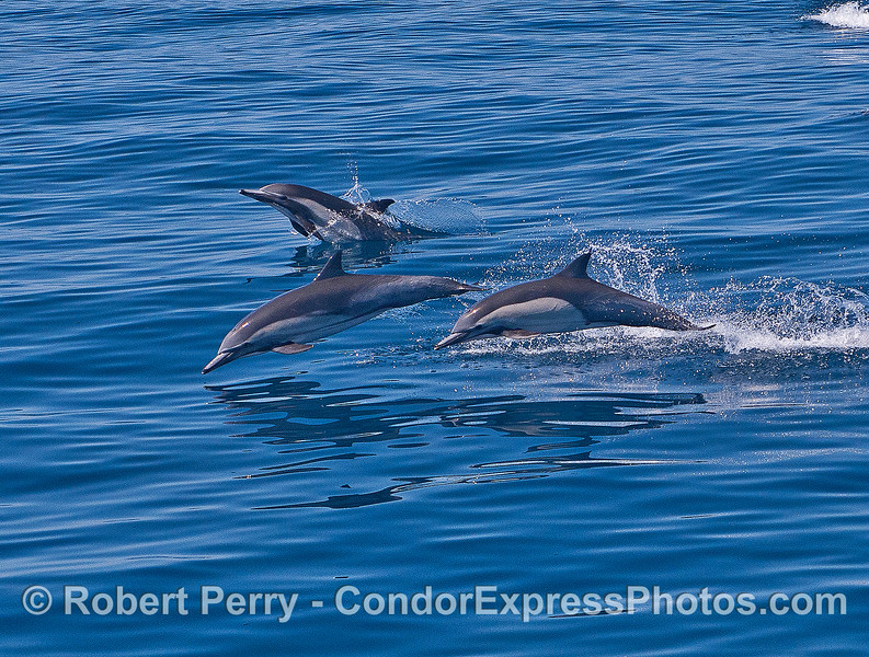 Three leaping long-beaked common dolphins with a mirror-like surface