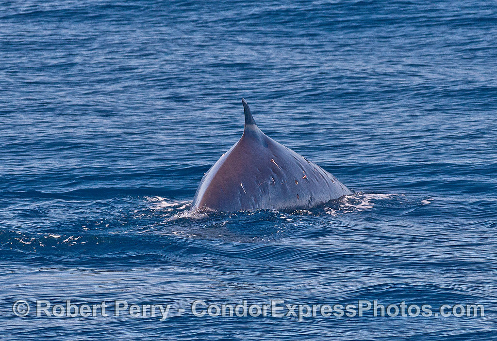 A fin whale arches-up for a deep dive