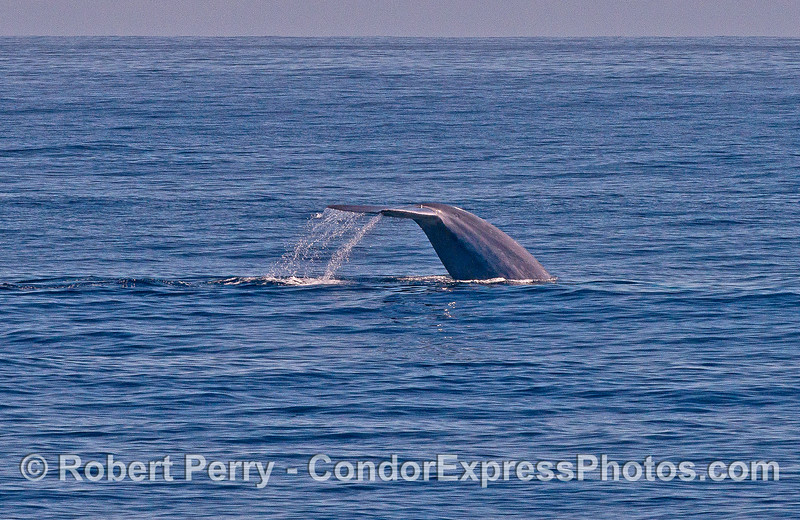 Thick and beefy blue whale tail flukes - waterfall