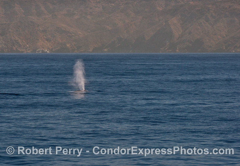 The tallest spout in the world from the largest animal that ever lived.  A blue whale with Santa Cruz Island in back.