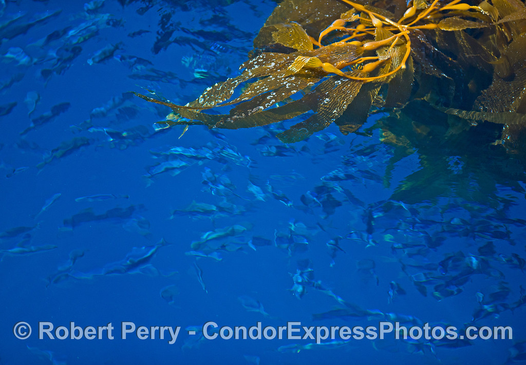 Image 3 of 3:  A detached and drifting giant kelp paddy with thousands of sardines hiding below