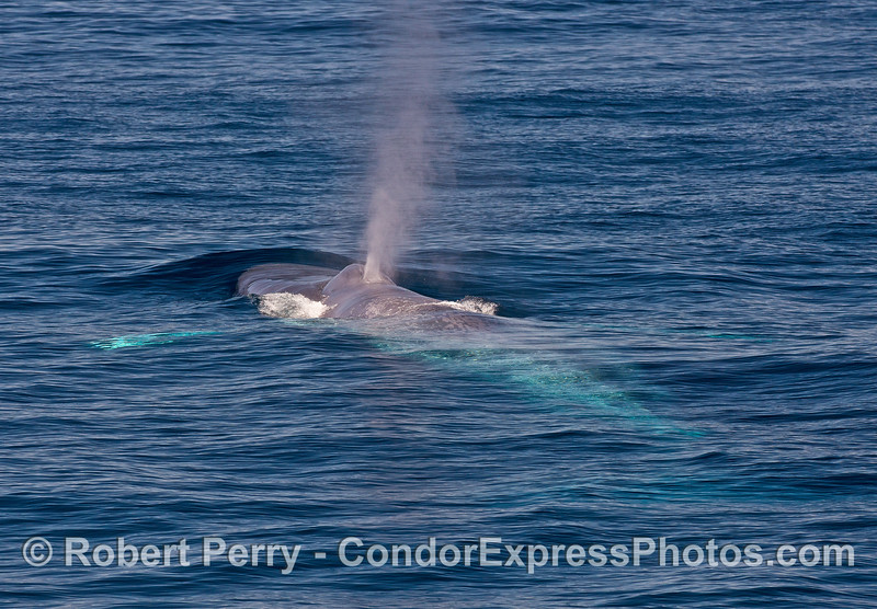Blue whale with pectoral fins and tail glowing underwater