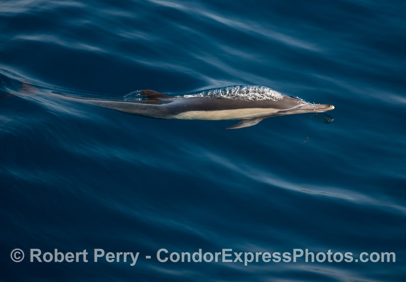 Long-beaked common dolphin in glassy waters
