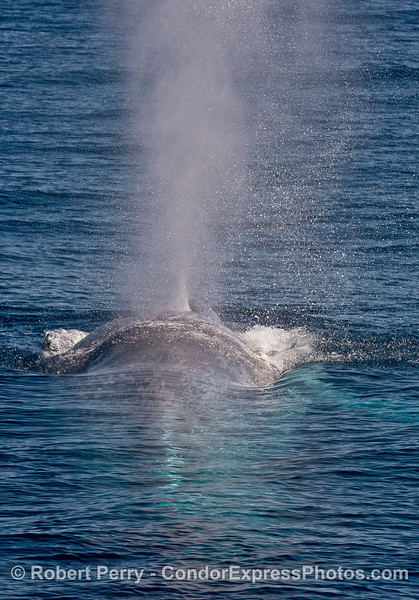 Tall spout from a giant blue whale