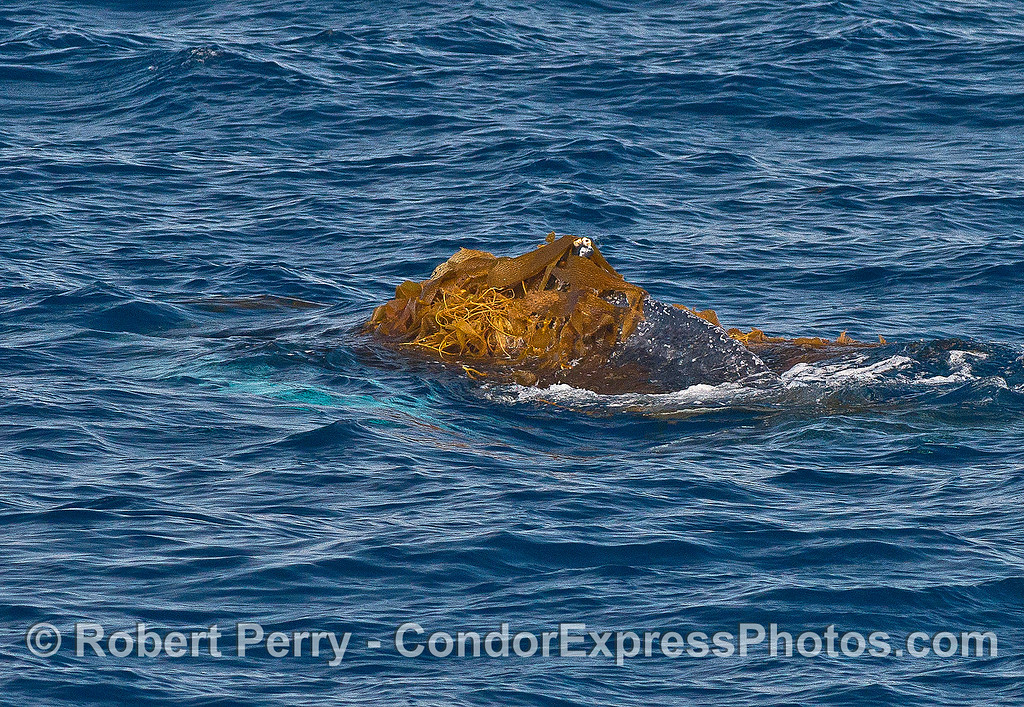 Image 1 of 9:  a humpback whale does a bit of kelping.  The back is covered with heaps of seaweed.