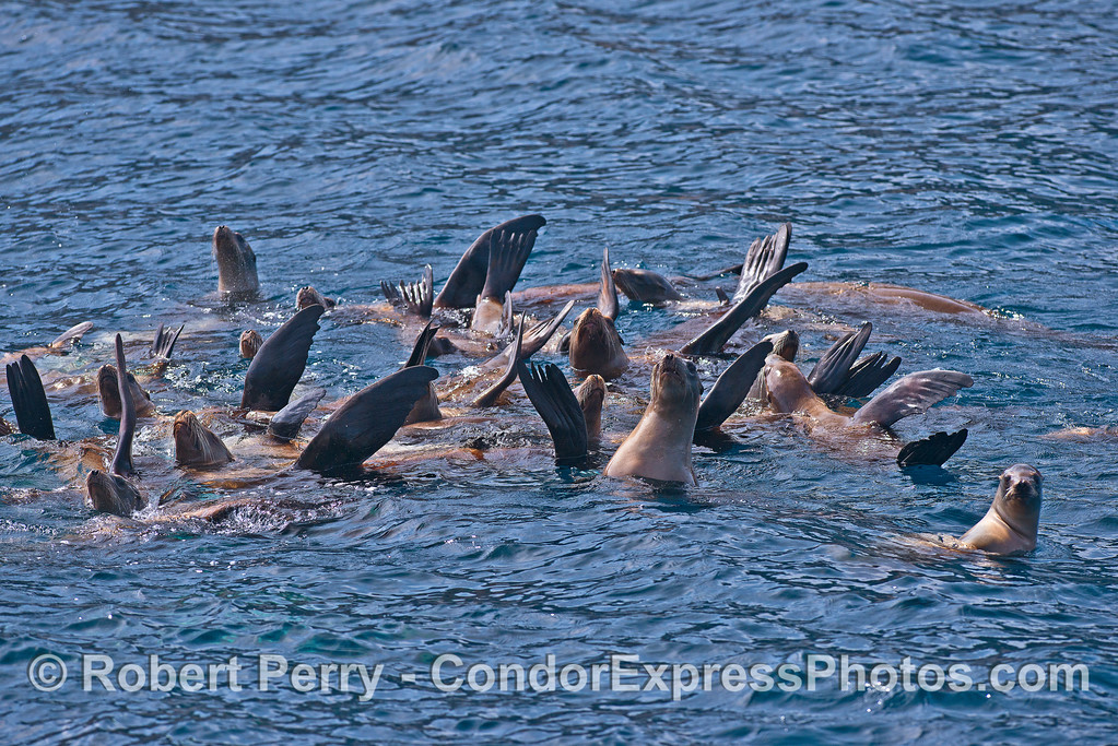 Image 3 of 5:  a mob of California sea lions formed a nice raft near Pelican Bay.