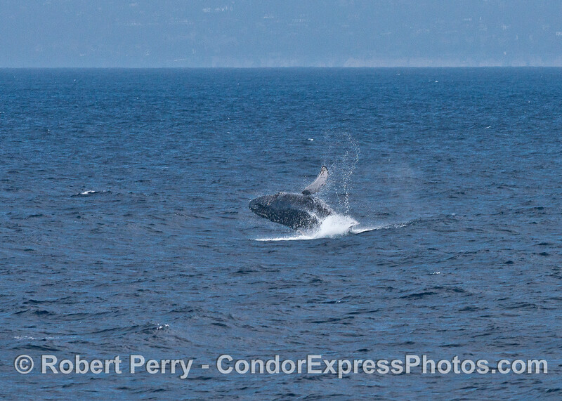 "Image 4 of 4:  the juvenile humpback we call ""Speckles"" is shown breaching."