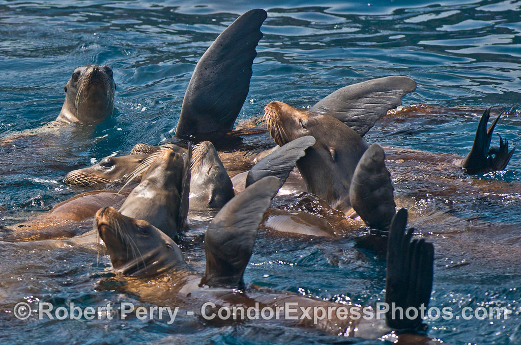 Image 1 of 5:  a mob of California sea lions formed a nice raft near Pelican Bay.