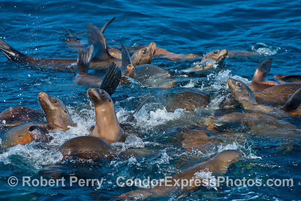 Image 5 of 5:  a mob of California sea lions formed a nice raft near Pelican Bay.