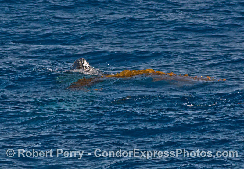 Image 2 of 9:  a humpback whale does a bit of kelping.  Spy hop in the kelp.